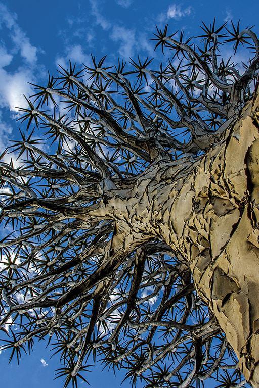 Lesersfoto: Kokerboom